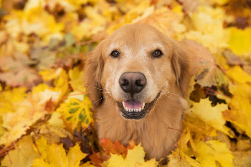 Golden retriever dog playing in leaves.